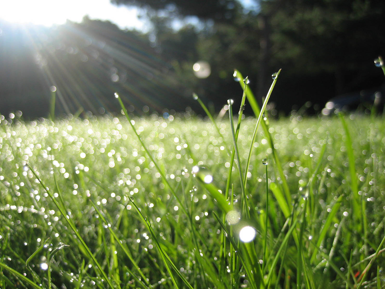 the new grass of the morning