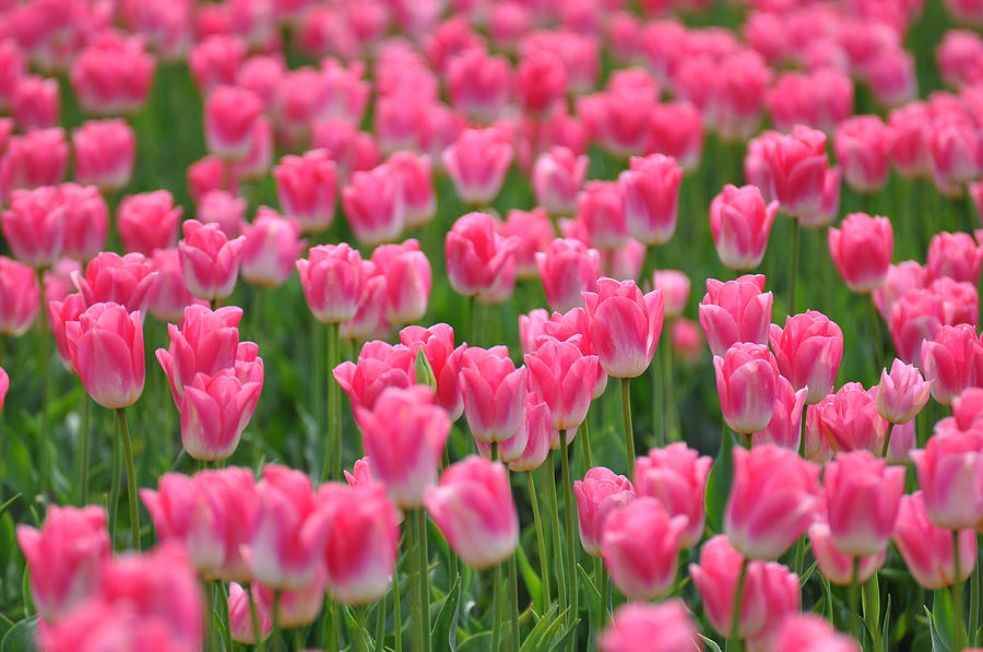 canh-dong-hoa-tulip-12